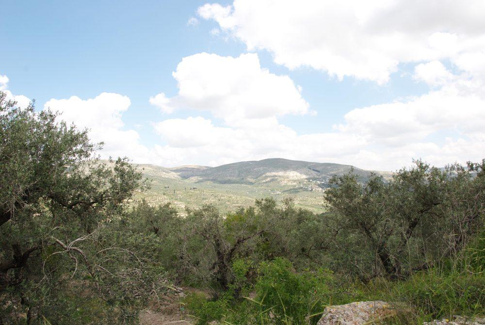Оливковые рощи в акрополе Шомрона