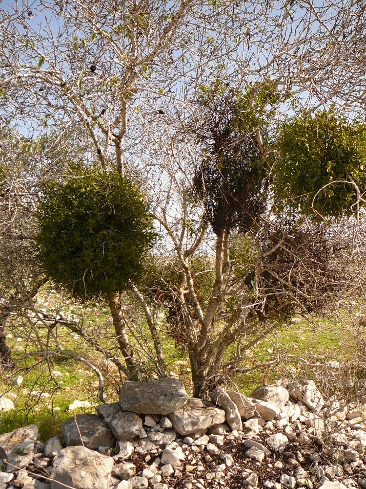 Заросшие деревья на обочине троп Самарии
