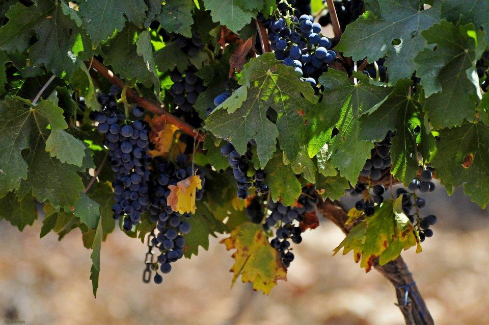 Виноград Шило