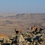 Горные козлы над кратером Рамон