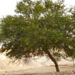 Шита - дерево пустыни