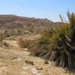 Пальмы в Эйн-Саароним