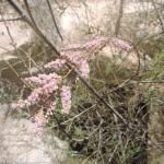 Цветение тамариска в Негеве