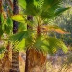Пальмы Вашингтония - Эйн Мата