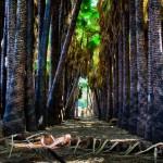 Эйн Мата - плантация пальм Вашингтония