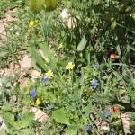 Цветы в Бейт-Эле - природа Израиля