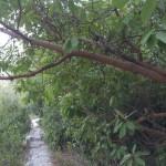 Кталав - земляничное дерево