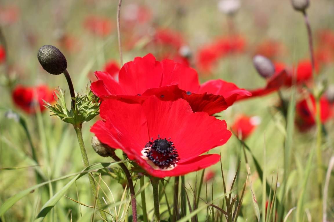 Анемоны - каланиет, любимый в Израиле цветок