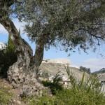 Маслины в Городе Давида, на фоне Храмовой горы