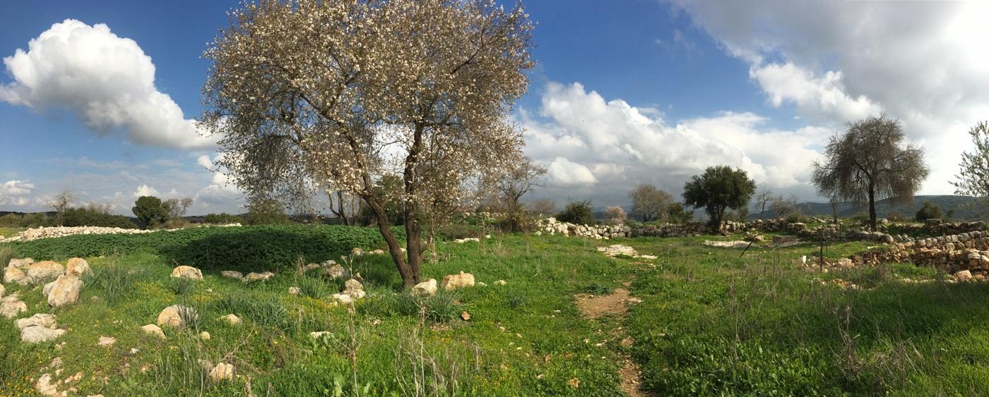 Цветение миндаля в Низменностях Иудеи, древний Шеараим