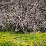 Шита малбина в Изреельской долине