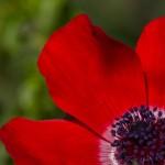 Каланит - красный анемон
