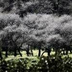 Шита малбина - белая акация возле тель Шимрона