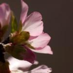 Розовый миндаль
