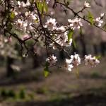 Миндаль - цветение шкедиет в Изреельской долине
