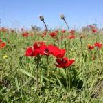 Анемоны - цветущая пустыня, экскурсия в Негеве