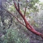 Кталав, земляничное дерево, в Иерусалимских горах