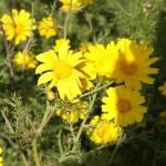 Харцит атура (хризантема) в Западном Негеве