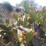 Заросли сабресов возле Дир а-Шеха