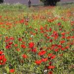Каланиет - анемоны в Негеве, цветущая пустыня