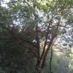 Кталав, земляничное дерево