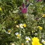 Цветы Земли Израиля, весна в Низменностях Иудеи