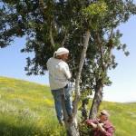 Рожковое дерево - харувим