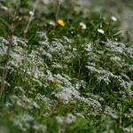 Белая волна цветения
