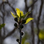 Инжира, весна в Низменностях Иудеи