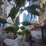 Деревья Тель-Авива