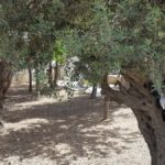 Старые маслины в садике Неби Укаша