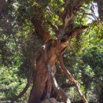 Большие деревья в лесу в ущелье Мирон