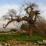 Бейт Эль - древний дуб