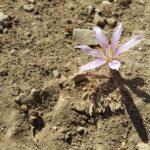 Ситванит - из первых зимних цветов Израиля
