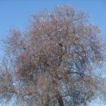 Начало цветения миндаля (шкедия)
