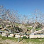 Смоковница, проросшая в древней цистерне для воды