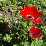 Первые каланиет, анемоны, в горах Иерусалима