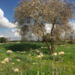 Цветущий миндаль в Иудейской низменности, над долиной Эла