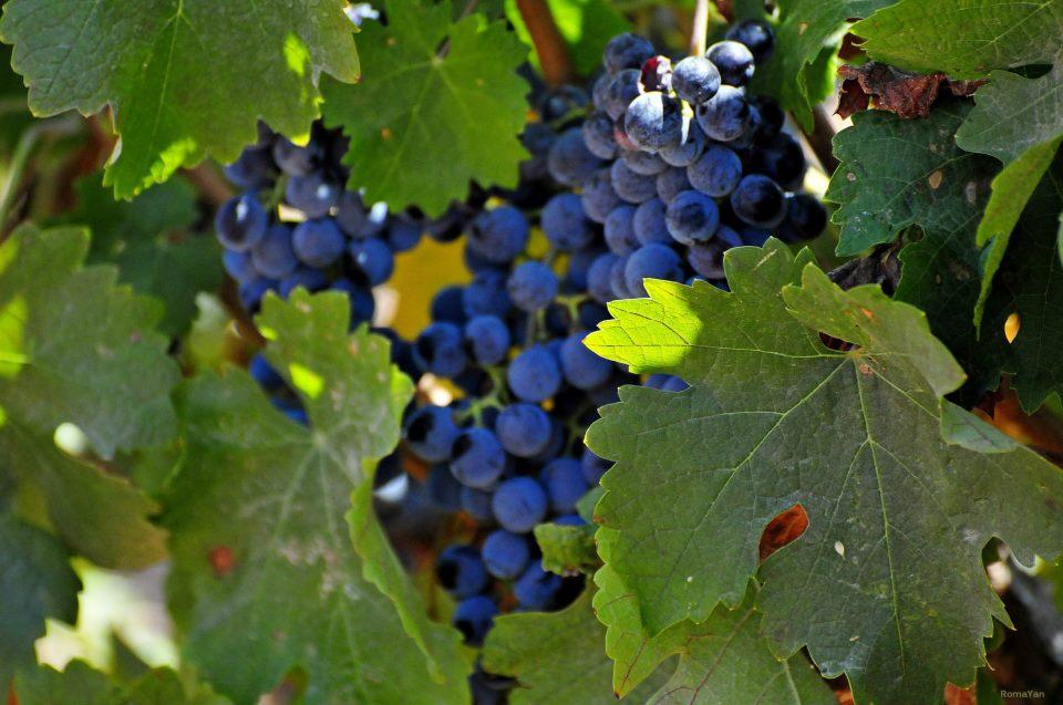 Виноград - символ народа Израиля