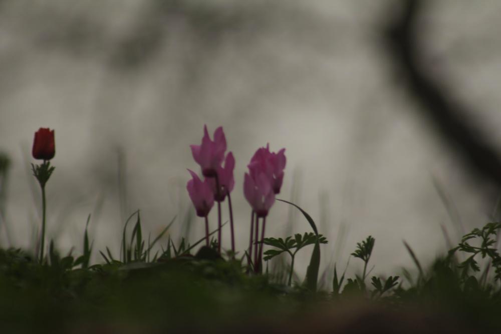 Цикломены и анемоны - весна в феврале