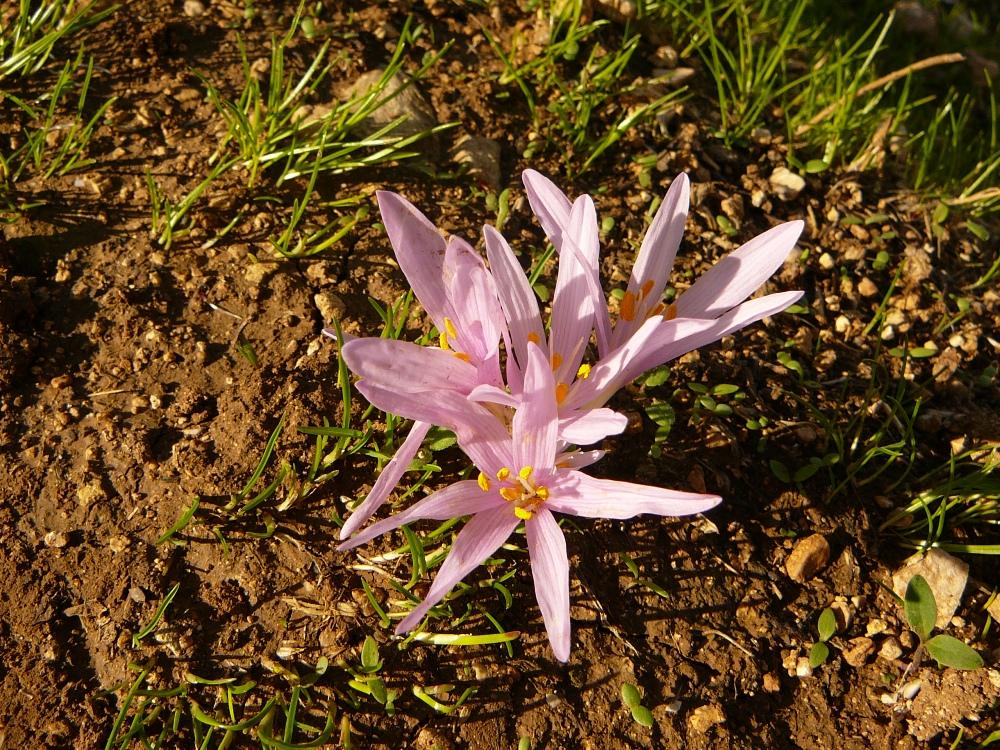 Это первый цветок, который появляется после долгожданных дождей