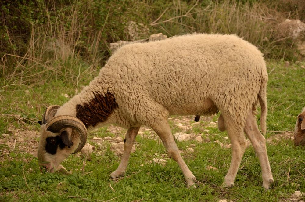 Овцы на холмах Самарии