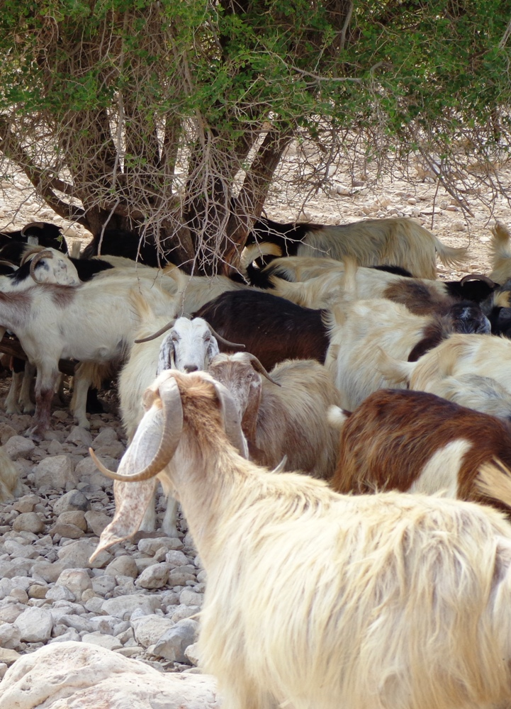 Бедуинские козы возле дороги
