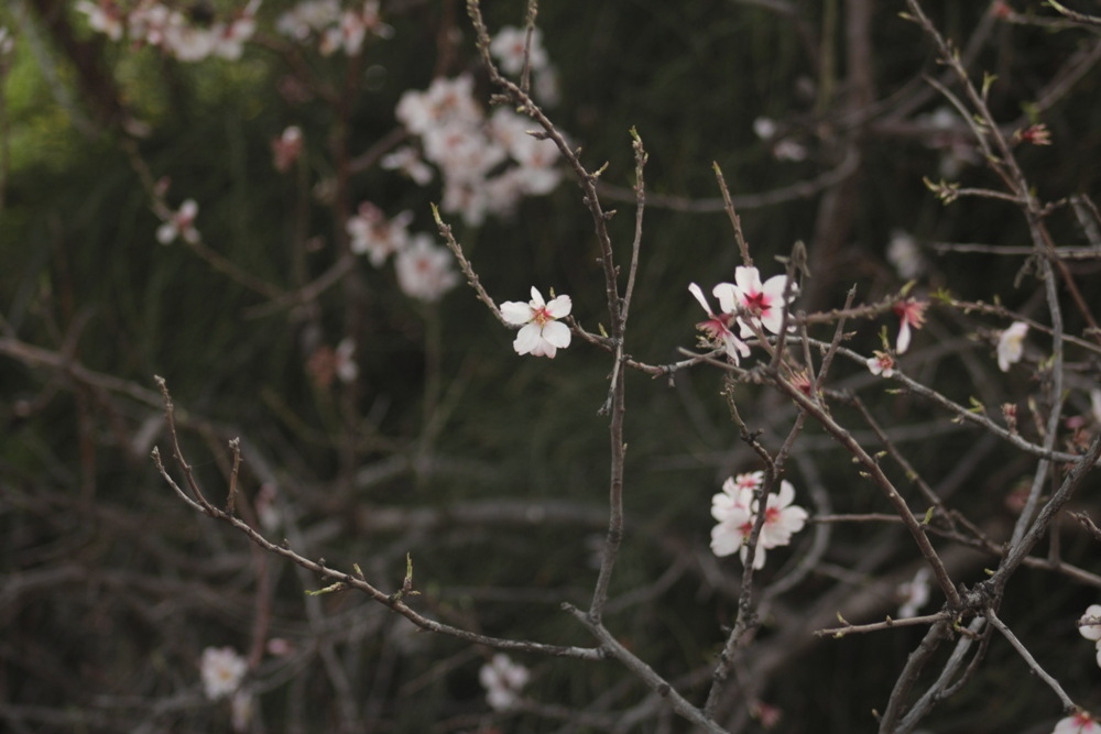 Цветение миндаля (шакед)