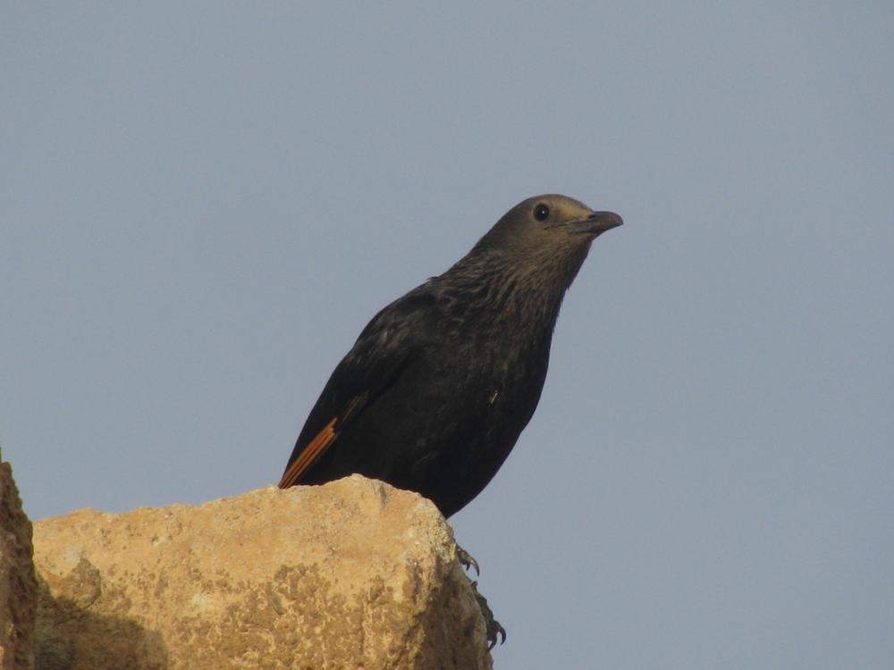 Тристрамит - эндемная птица - обитает вдоль Мертвого моря