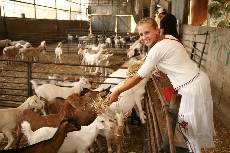 В молочной ферме Дальтон около Цфата
