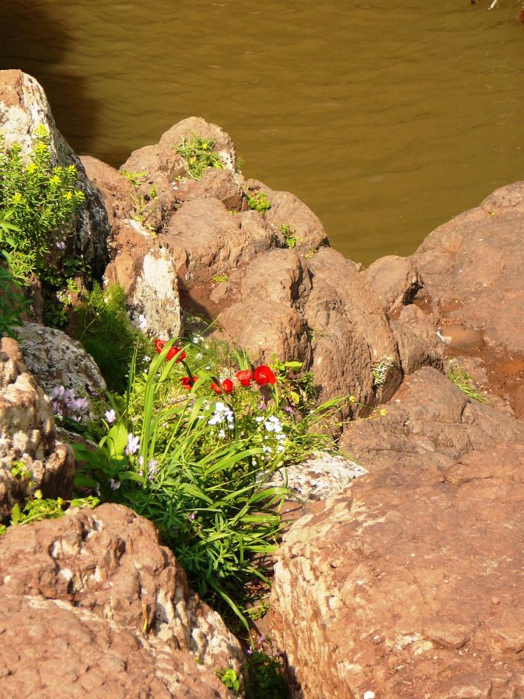 Цветы жизни пробиваются из базальтовых скал Голанских высот