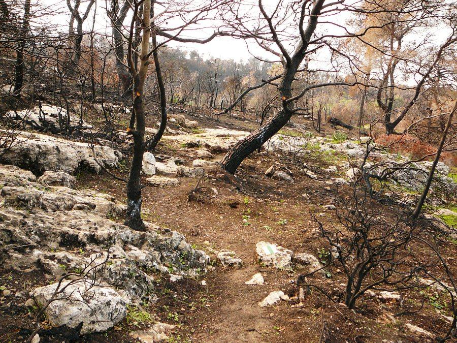 Пешая тропа между обуглинными деревьями