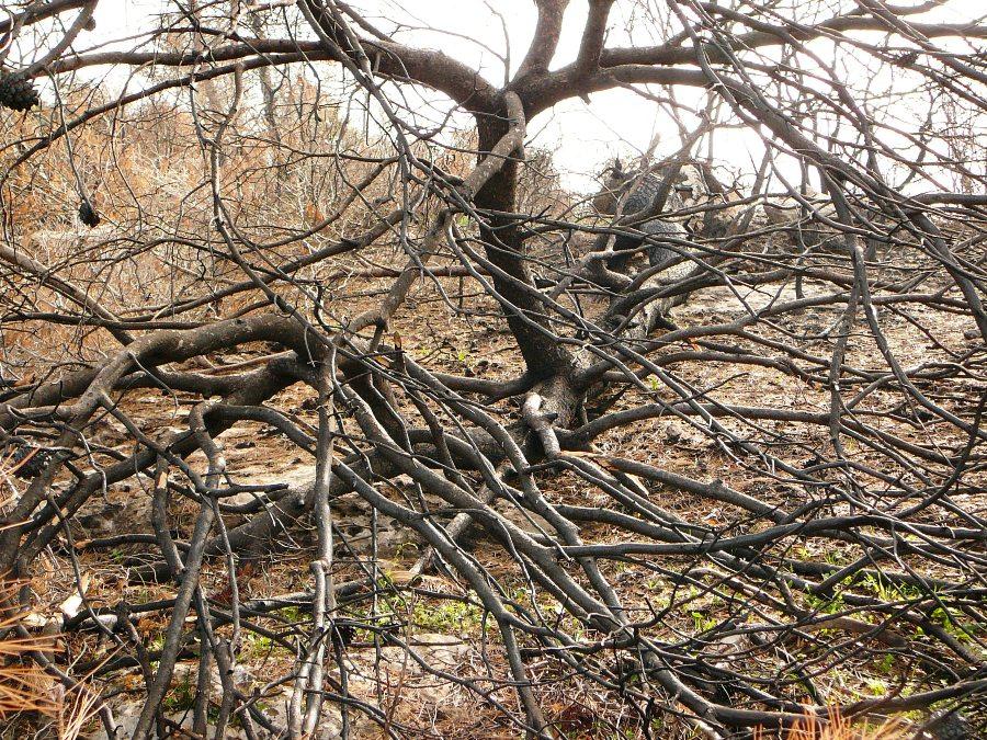 Поваленные сосны в соженных лесах Кармеля