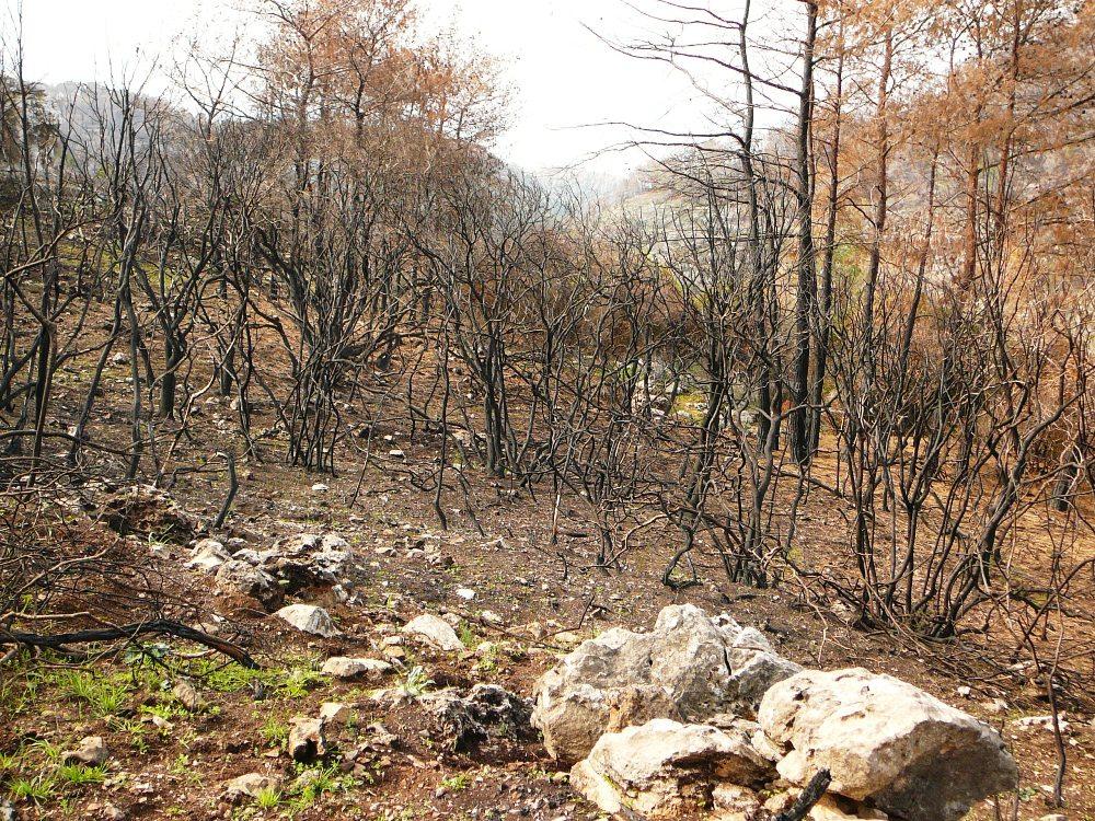 Сожженный лес - до пожара в этой чаще невозможно было пройти